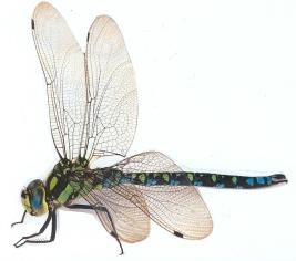 beesjes insect libel blanco